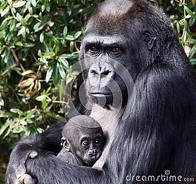 Western Lowland Gorilla Holding Her Newborn Baby
