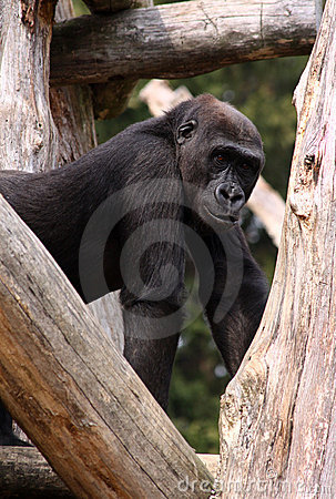 Western Lowland Gorilla at National Zoo