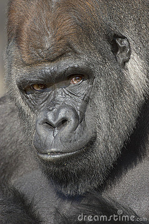 Western Lowland Gorilla Portrait