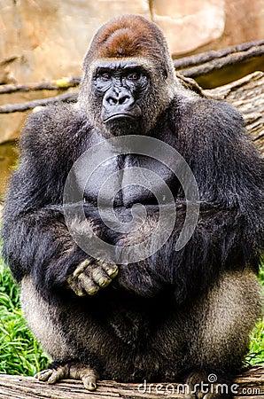 Free Western Lowland Gorilla Posing Sitting Royalty Free Stock Images - 43290039