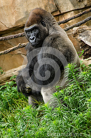 Free Western Lowland Gorilla Relaxing Sitting Stock Image - 42929281