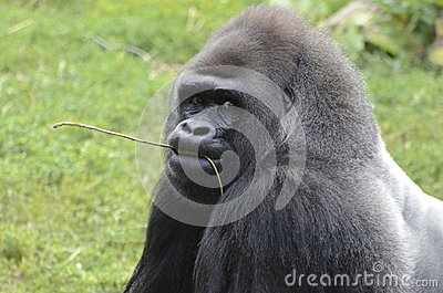 Western lowland gorilla with twig