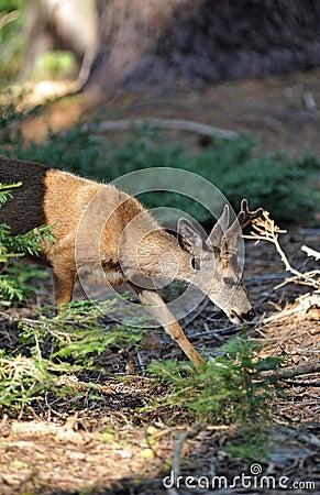 Western Mule Deer Buck eating