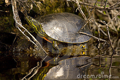 Western Painted Turtle Stock Photos - Image: 23881193