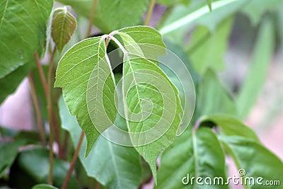 Western Poison Ivy  600415