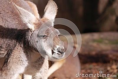 Western red kangaroo