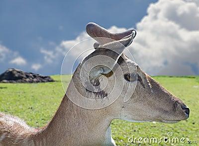 Western Roe Deer Capreolus capreolus