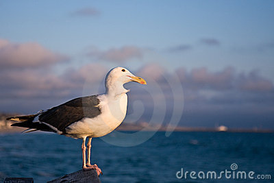 Western Seagull at Sunset