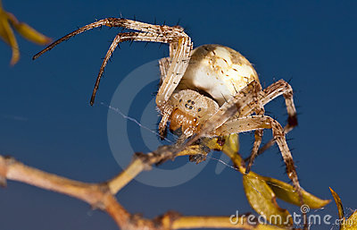 Western Spotted Orb Weaver Spider