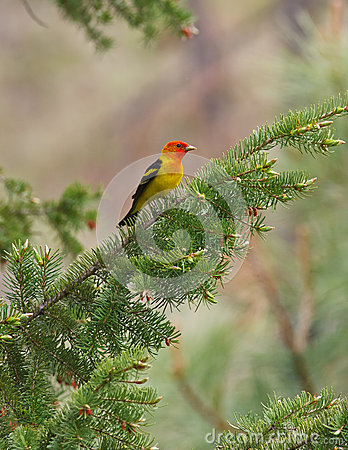 Western tanager on branch
