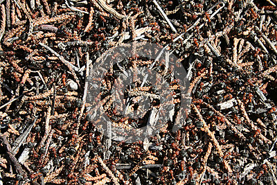 Western Thatching Ants