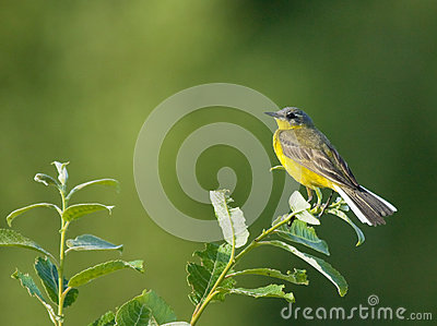 Western Yellow Wagtail on bush