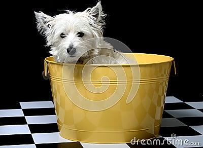Westie in a bucket