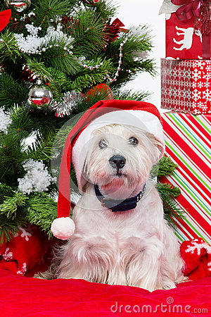 Westie in christmas hat