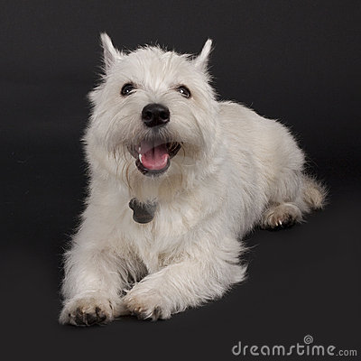 Westie with mouth open