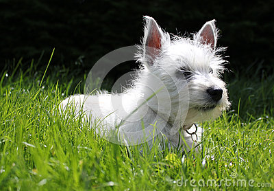 Westie puppy laying on grass