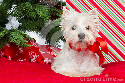 Westie under new year tree