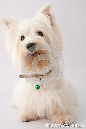 Westie (West Highland White Terrier)