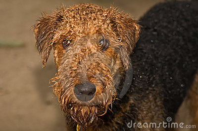 Wet airedale terrier dog outside
