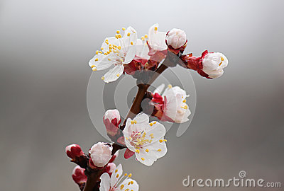 Wet apricot tree blossom