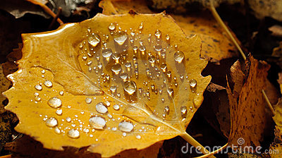 Wet autumn leaf.