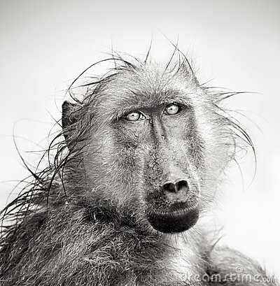 Wet Baboon portrait