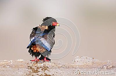 Wet Bateleur eagle