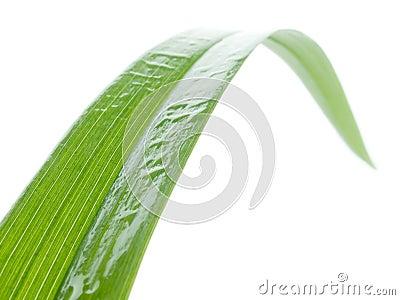 Wet blade of grass.