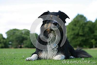 Wet border collie dog