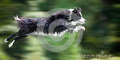 Wet border collie dog in midair