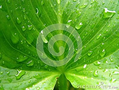 wet calla leaf