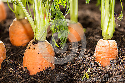 Wet Carrots in the dirt