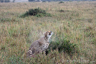 Wet cheetah