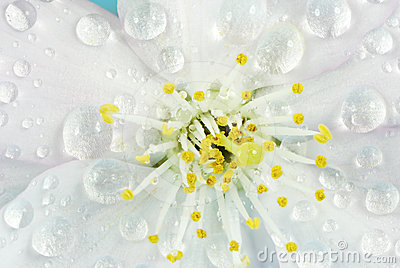 Wet Cherry Blossom