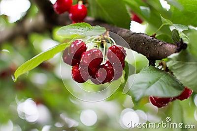 Wet cherry cluster