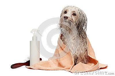 Wet chocolate havanese dog after bath
