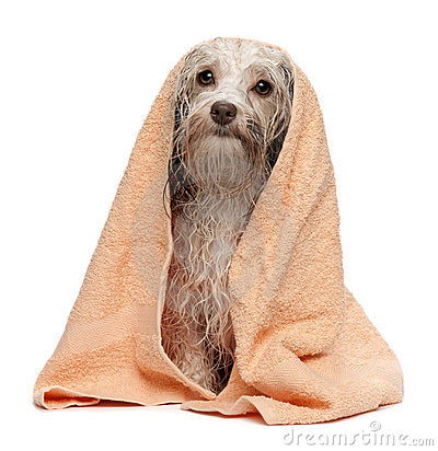 Wet chocolate havanese dog after bath