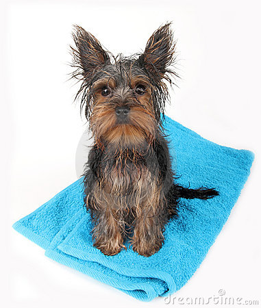 Wet  dog after bath