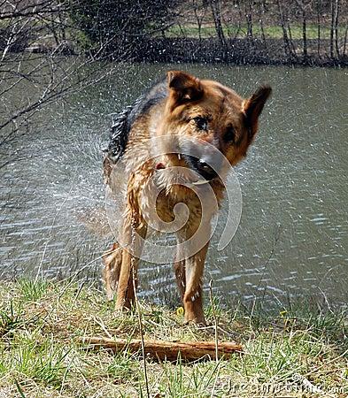 Wet dog shaking