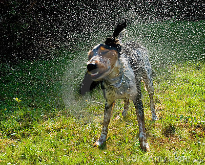 Wet dog shaking itsself dry