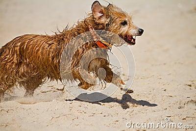 Wet domestic dog running