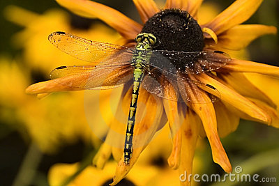 Wet dragonfly