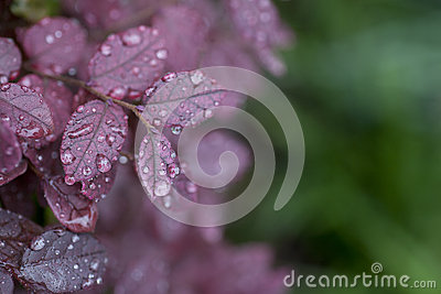 Wet drop on purple leaf