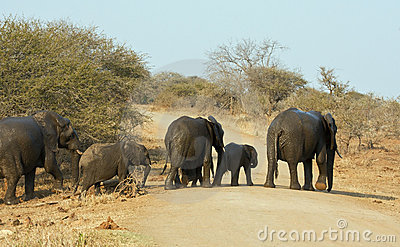 Wet elephant herd crossing the road