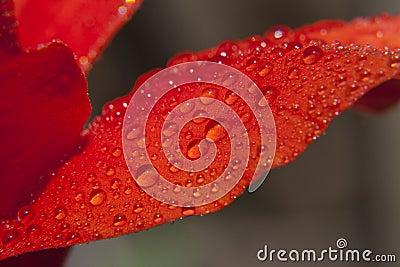 Wet Flower Petal