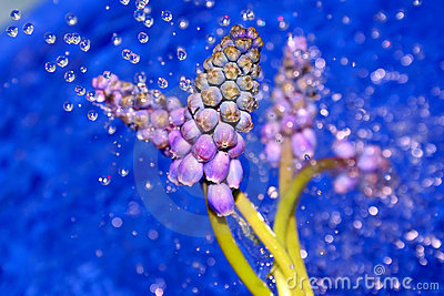 Wet flowers of lupin