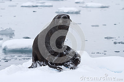 Wet fur seal that came out to the ice floe on a day