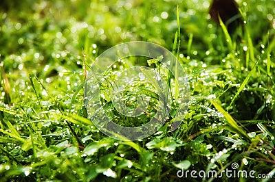 Wet glistening grass
