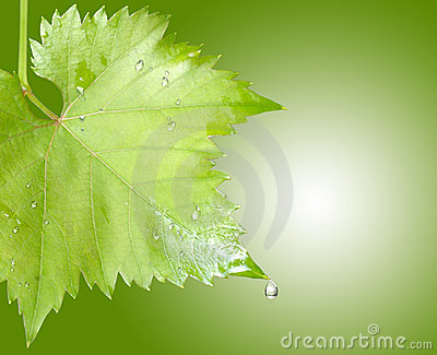 Wet grape leaves