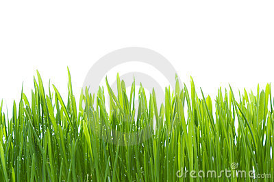 Wet grass isolated on white background